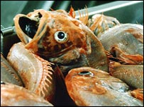 Orange roughy - target of the bottom trawler.  Image: Greenpeace/Duncan
