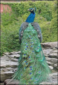 Peacock at Ruthin Castle
