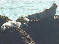 Seals at Skokholm Island