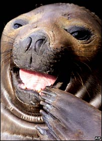 Seal in close-up.  Image: AP/Shizuo Kambayas