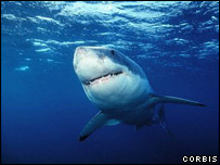 Great white shark,