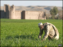 An Afghan farmer works in a wheat field that has replaced opium poppy