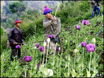 A Thai volunteer destroys opium poppies during the opium eradication