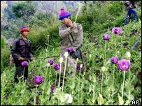 A Thai volunteer destroys opium poppies during the opium eradication