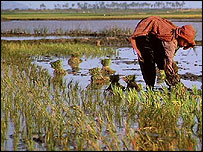 rice paddy ( archive image)