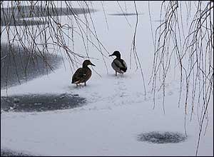 Ducks on an icy lake