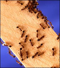 Fire  ants on a plank (USDA/Bauer)