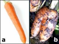 Carrots vote