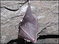 A lesser horseshoe bat roosting in a Dolgellau gold mine