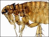 Flea (image CSIRO)