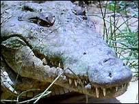 BBC NEWS | Africa | Ugandan killer crocodile captured