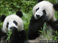 Two giant pandas eat bamboo at the China Wolong Giant Pandas Centre, August 2005