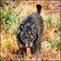 Iberian lynx, PA