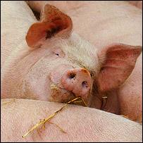 Pigs, Jeff Veitch
