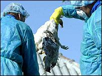 Dead poultry in Romania