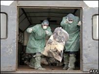 Romanian health workers throw bags of dead domestic birds into a pit in Ceamurlia de Jos