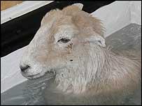 Lamb Chop the sheep. Photo: Elizabeth Newing