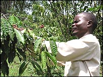 Bigambo Festus examines coffee crop