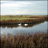 Swans on a river channel at Elmley nature reserve