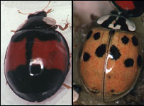 Harmonia axyridis (M.Majerus/Cambridge University)