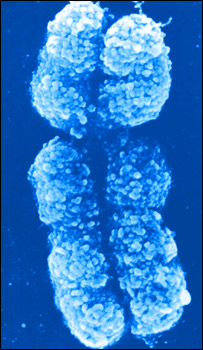 X chromosome, Indigo Instruments