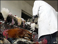 Kenyan traders prepare chickens for sale in a market 21 October 2005 in Nairobi