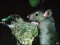 Razza, a Norwegian brown rat released in New Zealand as part of an experiment