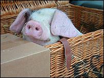 Piglet in a basket, BBC