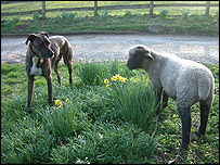Sheep and dog, BBC