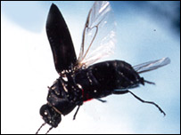 Jewel beetle, BBC