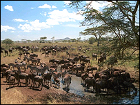 Wildebeest in east Africa