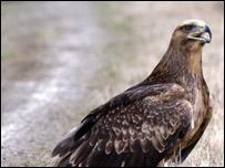 Megaera the eagle