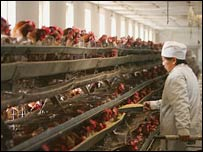 A worker feeds chickens at a poultry farm in China