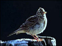 Skylark (BBC)