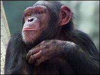 Chimpanc�
