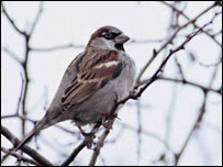 House sparrow, BBC