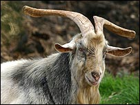 The Chicago Cubs are under the 'curse of the billy goat'