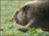 A beaver makes its way to a new home at the Cotswolds Water Park on Thursday