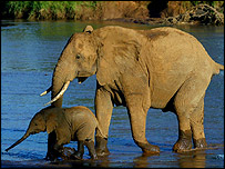 African elephant with calf, AP