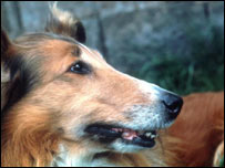 Collie dog, BBC