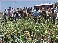 Opium crop raid in India
