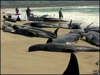 Whales beached on Marion Bay, Tasmania