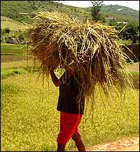 Carrying rice paddy in Madagascar