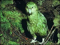 Kakapo Alice at entrance to underground next, Stewart Island, April 1981 (Dick Veitch)