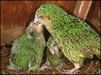 Kakapo Jean feeding brood in nest box (Don Merton)