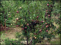 Orchards were destroyed by landslides in the earthquake