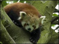 Birmingham's red panda