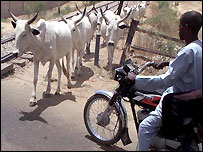 A motorbike waits for cattle walking along a railway line in Nigeria