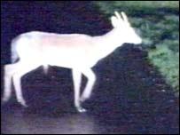 Fox caught in gamekeeper's lamp