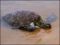 An endangered Hawksbill turtle (photo: Dinasena Ratugamage)